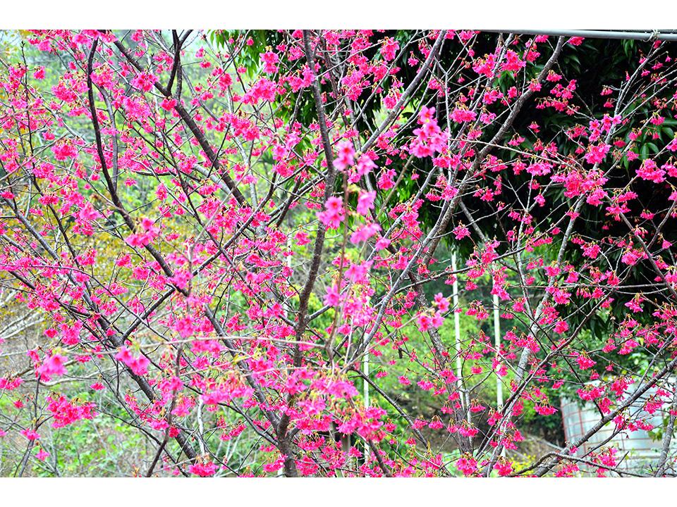 2015信義櫻花祭爭豔綻放 鄉長推廣行銷在地農特產