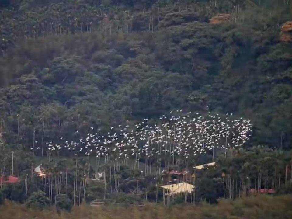 黃頭鷺遷徙秀 樟湖的天空不斷盤旋