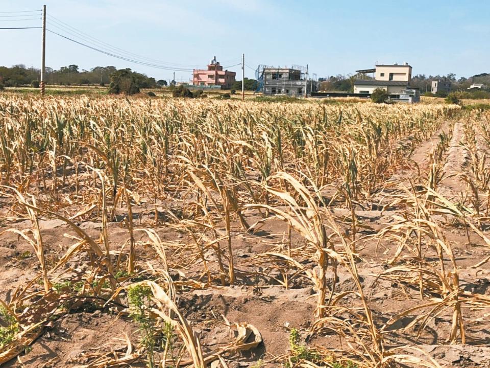 金門大旱 50年來最嚴重 高粱枯了