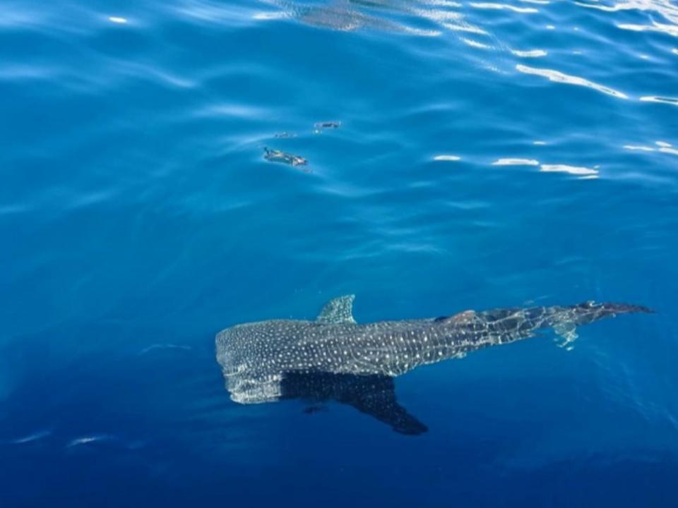 鯨鯊與鬼蝠魟列海洋保育 違法獵捕最高罰150萬元