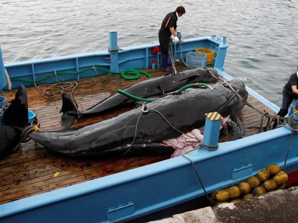 重返「大捕鯨時代」?日本捕鯨船團出港