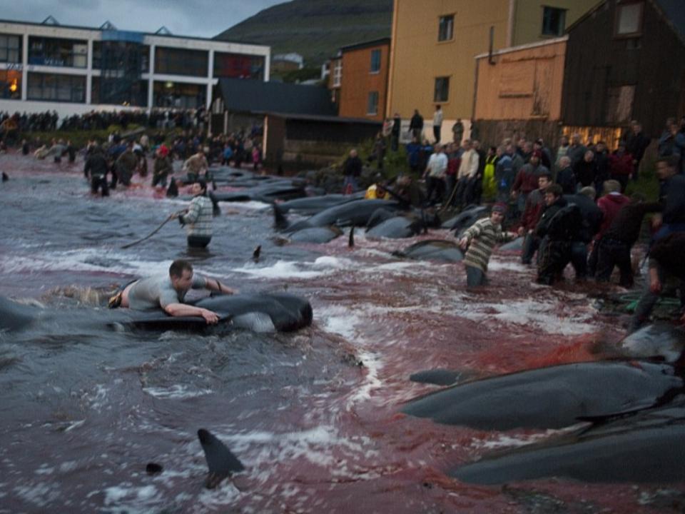 國際責難聲中邊捕鯨還邊辯解 中斷31年日本恢復商業捕鯨
