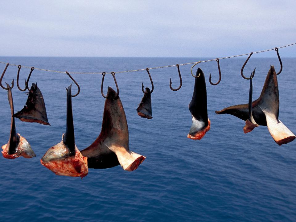全球第二大魚翅消費國 加拿大立法通過禁止魚翅進出口