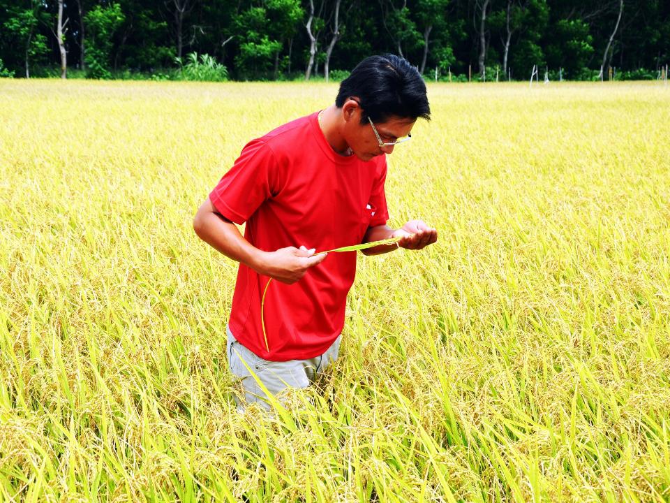水稻農引進日本米種植  打響「CAS莘穀傳香」品牌