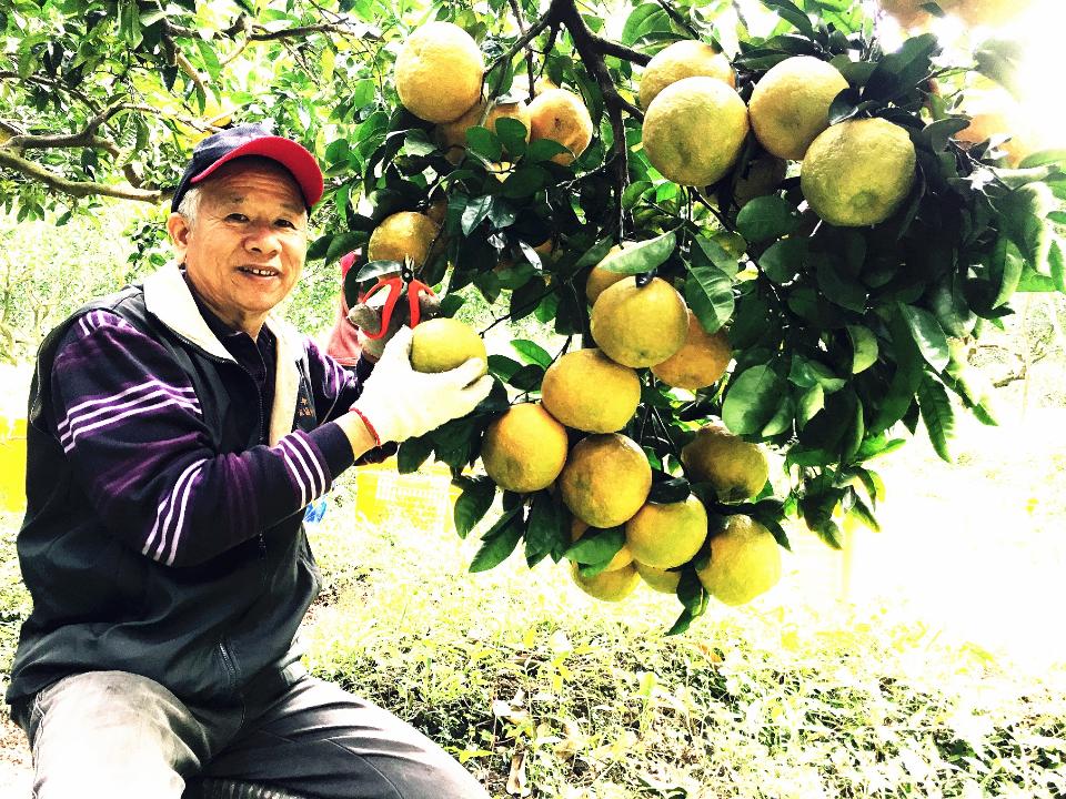 暖冬和蟲害影響 南庄酸柑茶飆漲三成