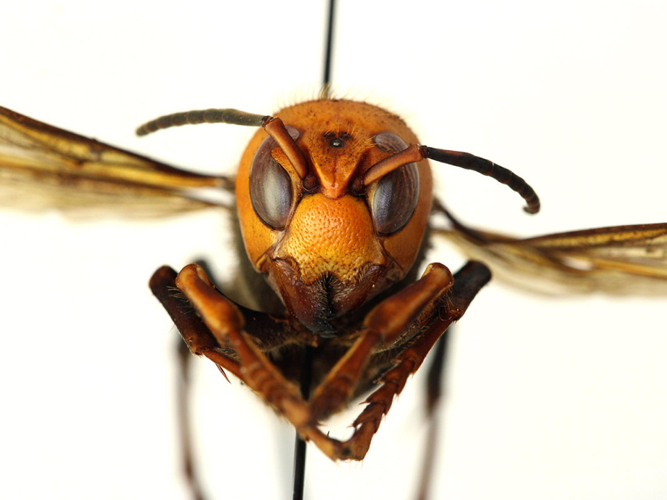 亞洲暴徒來襲 !  外來種巨大「殺人蜂」入侵美國