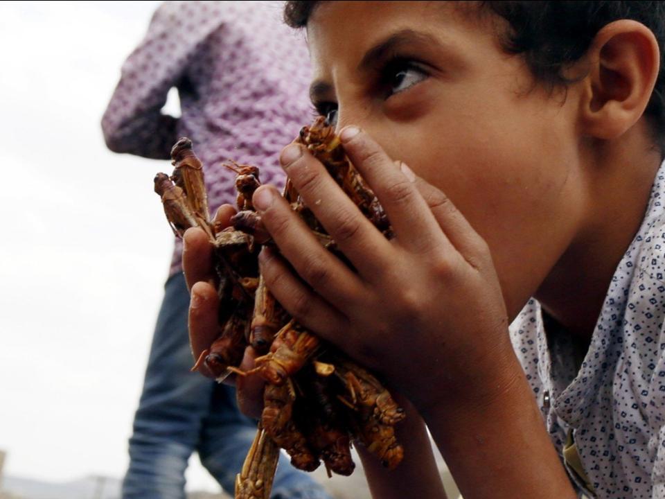 中東蝗禍影响跨國 葉門戰火的報應擴散