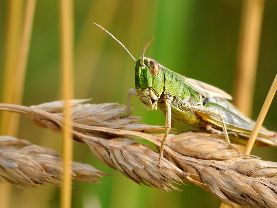 氣候暖化千億蝗蟲慘虐 正視糧食安全問題